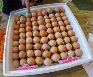 Особенности домашней инкубации яиц