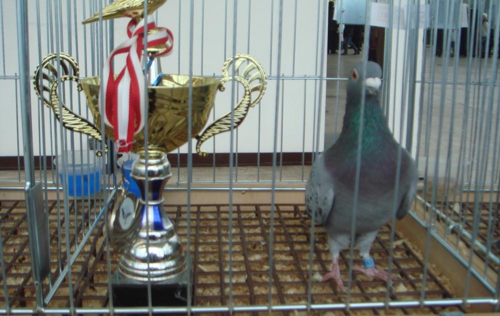 Мировое спортивное голубеводство