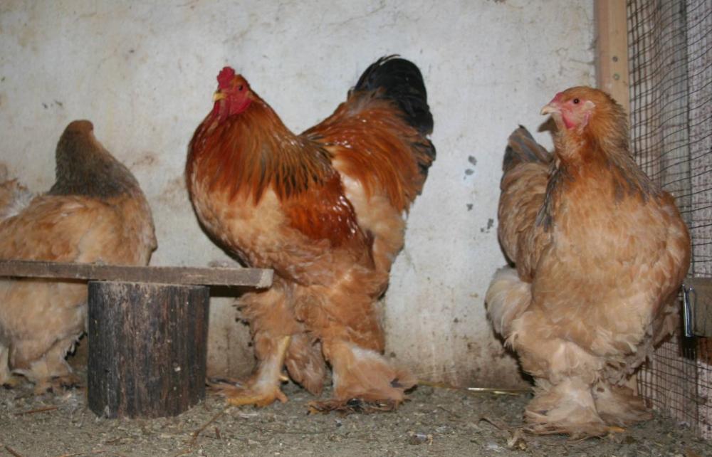 Где приобрести цыплят и взрослую птицу