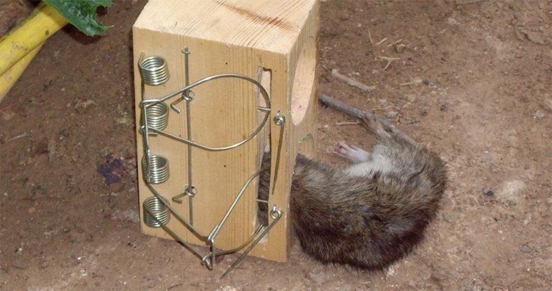 эффективная ловля крыс