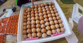 Закладка яйц в инкубатор