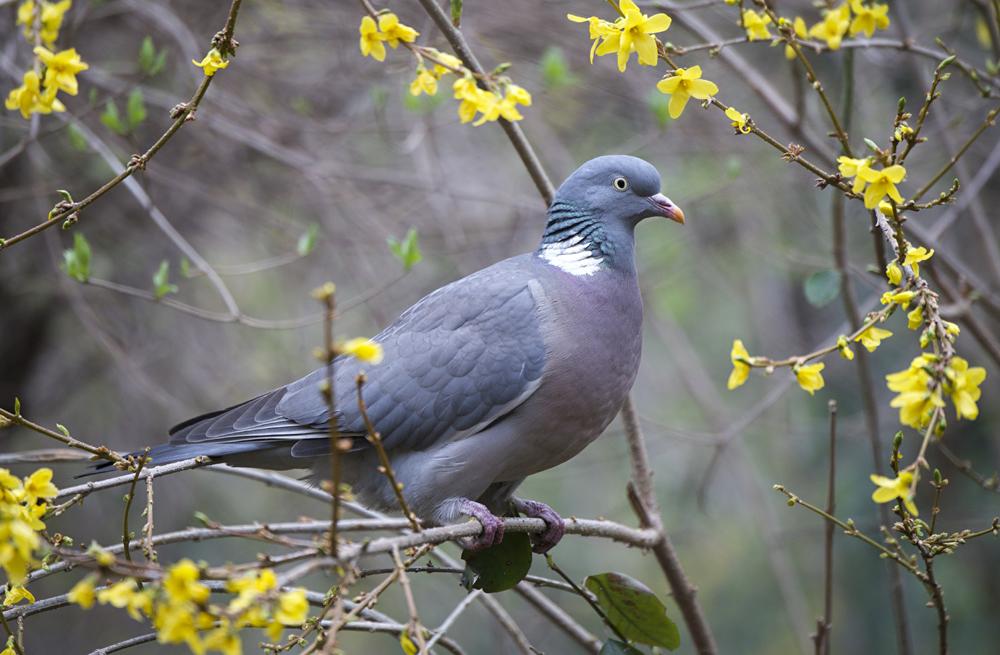 Продолжительность жизни голубей