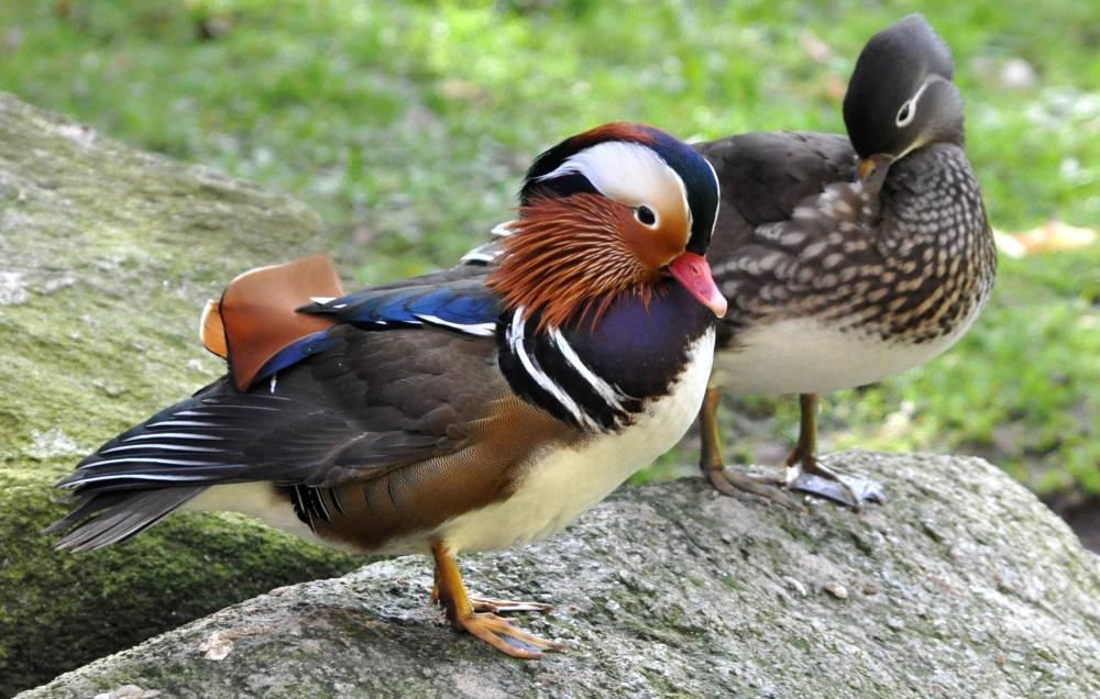 Утка мандаринка — символ верности и супружеского счастья