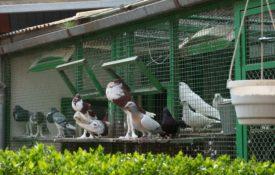 Содержание голубей зимой и летом
