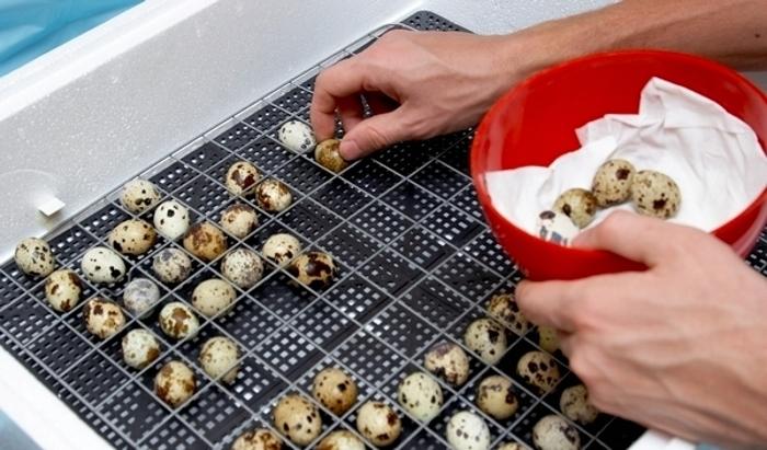 Как правильно закладывать перепелиные яйца в инкубатор