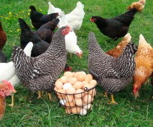 Основные правила и советы по содержанию и выращиванию кур несушек