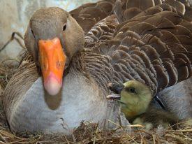 Разведение серой породы гусей