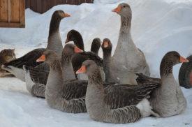 Условия содержания серых гусей