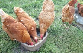 Чем кормить несушек для лучшей яйценоскости