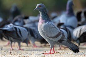Что влияет на продолжительность жизни голубя