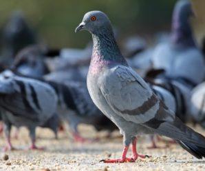 Сколько лет живут голуби: важные и интересные факты