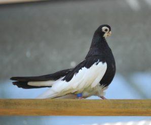 Русские породы голубей — история, стандарты, особенности