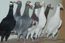 Породы спортивных голубей
