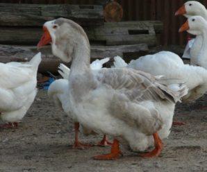 Холмогорские гуси: тонкости содержания и разведения породы