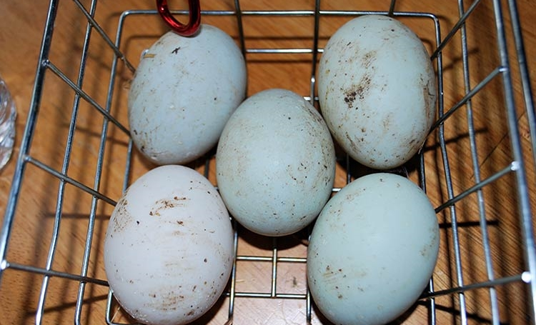 Дезинфекция куриных яиц