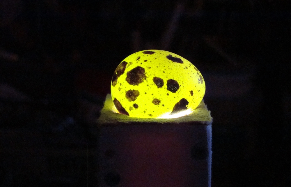 Овоскопирование перепелиных яиц