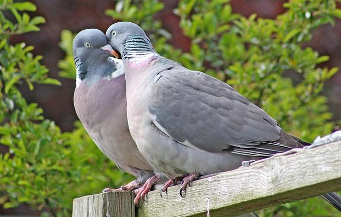 Как определить возраст голубя