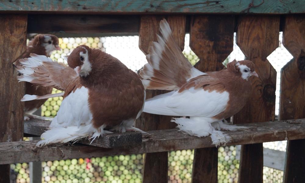 Волжские красногрудые
