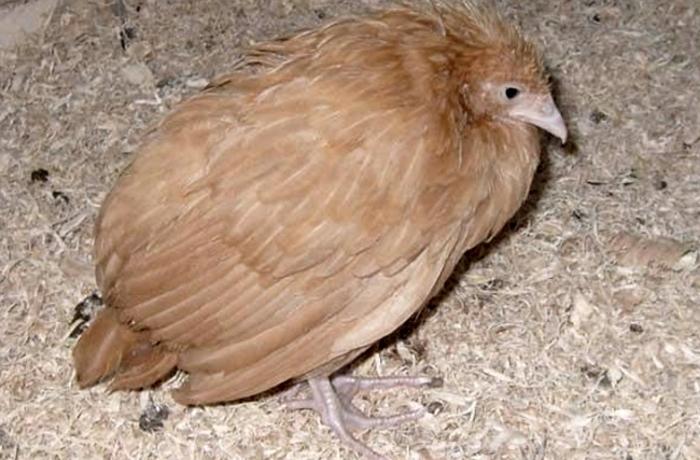Болезни кур
