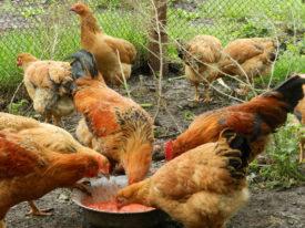 Особенности кормления кур