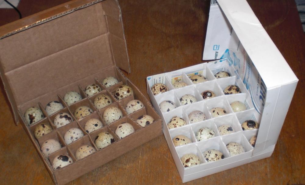Как хранить перепелиные яйца для инкубации