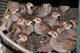 Отсадка птицы на забой