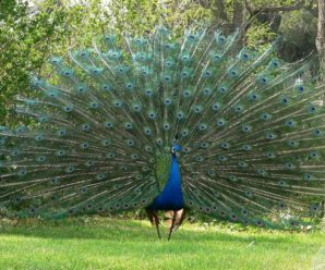 Кто такая райская курица и где она обитает: интересные факты о павлинах