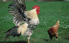 Любовный ритуал у кур