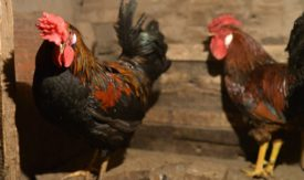 Петух не оплодотворяет курицу – что делать