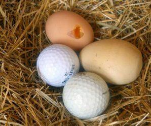 Домашние куры расклевывают яйца: причины и способы устранения проблемы
