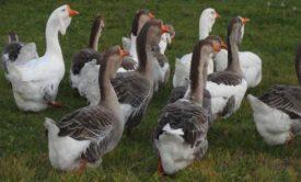 Питание холмогорских гусей