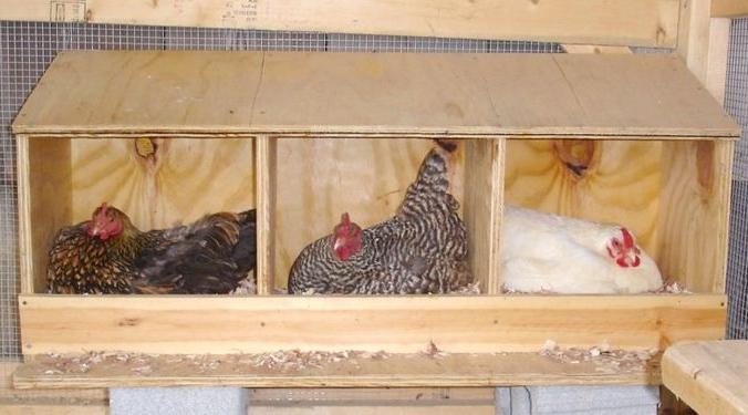 Как приучить несушку к гнезду
