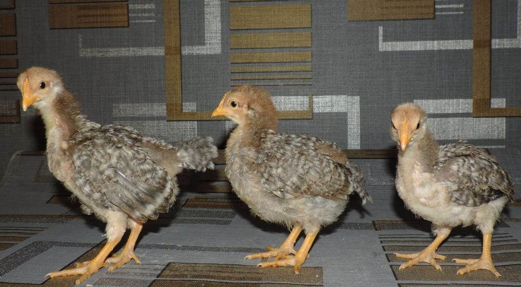 Характеристики петухов и куриц