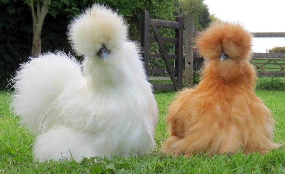 Китайская шелковая порода кур