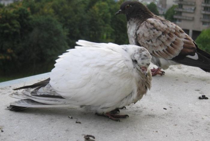 Общие симптомы болезней голубей