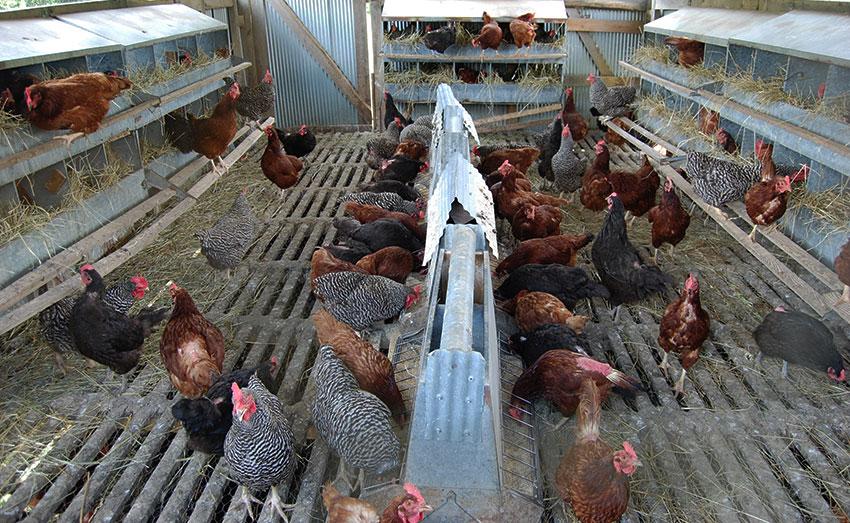 Как быстро ощипать курицу в домашних условиях: ручной и