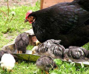 Сколько живут куры: факторы, влияющие на срок жизни птицы
