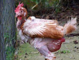 Причины облысения кур