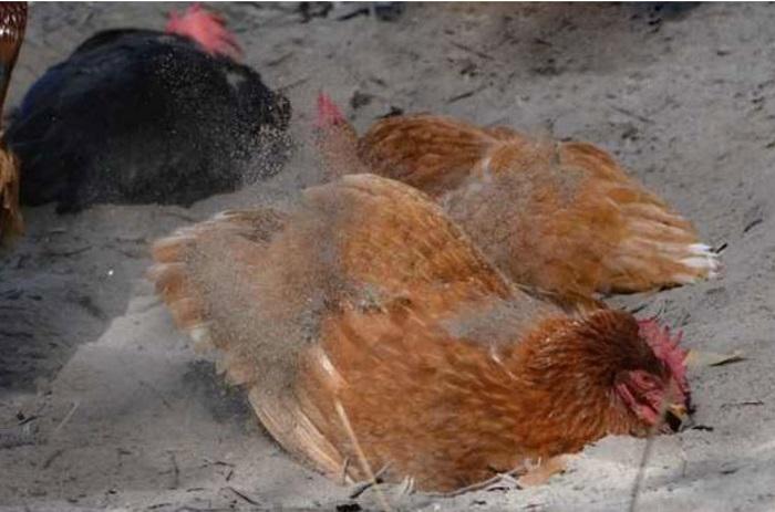 Зола и песок против куриного клеща