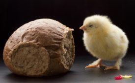 Какой хлеб допустим в рационе кур