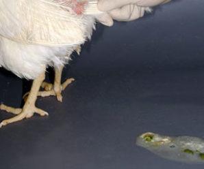 Как лечить понос у кур: антибиотики, пробиотики и народные средства