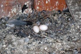 Кладка и высиживание яиц