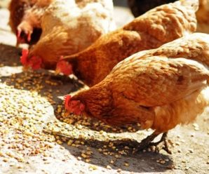 Питание кур несушек зимой и летом: составляем рацион в домашних условиях