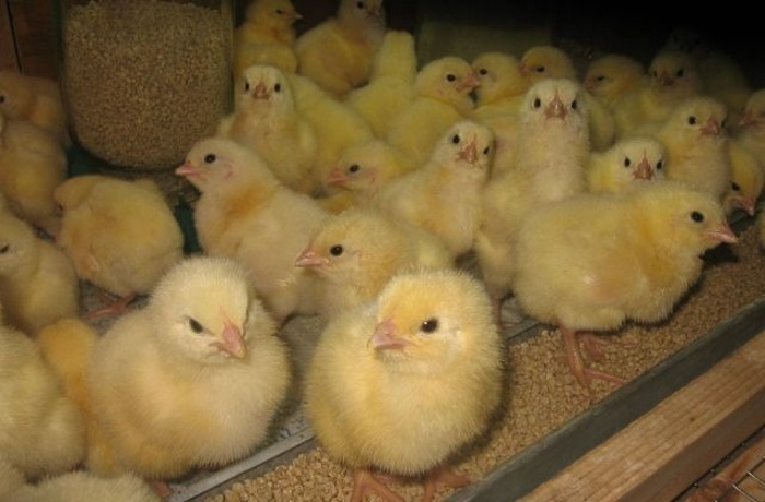 Как правильно давать комбикорм цыплятам