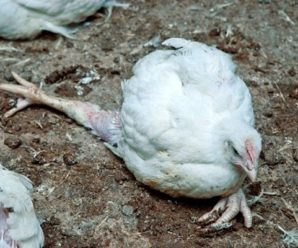 Кокцидиоз: симптомы паразитарной инфекции и методы лечения цыплят и кур