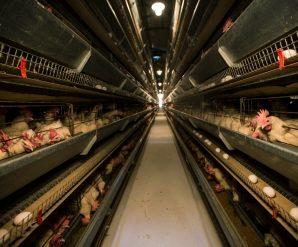 Разведение кур несушек на яйца: бизнес-план и рентабельность