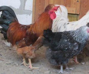 Русская хохлатая порода кур: особенности содержания и разведения