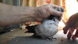 Искусственное вскармливание птенцов