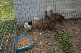 Выращивание птенцов