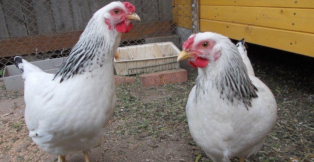 Кормление первомайских кур